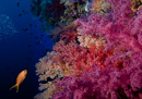 soft corals with Jewel fairy basslet (Pseudanthias squamipinnis)