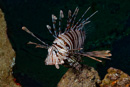 Indian lionfish (Pterois miles)