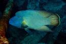 Napoleonfisk (Cheilinus undulatus)