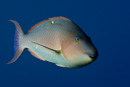 Longnose parrotfish (Hipposcarus harid)