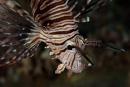 Västlig drakfisk (Pterois miles)
