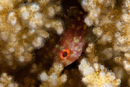 Coral scorpionfish (Sebastapistes cyanostigma)