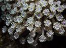flowerpot coral (Goniopora sp)