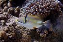 Arabian Picasso triggerfish (Rhinecanthus assasi)