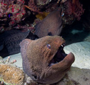 Two large Giant morays (Gymnothorax javanicus)