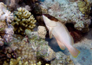 Blacktip grouper (Epinephelus asciatus)