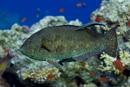 Dotted parrotfish (Calotomus viridecens)