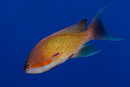 Jewel fairy basslet (male) (Pseudanthias squamipinnis)