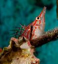 Långnosad hökfisk (Oxycirrhites typus)