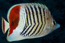 Rödryggad fjärilsfisk (Chaetodon paucifasciatus)
