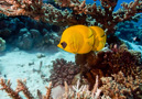 classic view of a pair of Masked butterflyfish (Chaetodon semilarvatus) in the shade of an Acropora coral