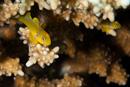 Lemon goby (Gobidon citrinus)