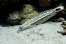 Fläckig sandgädda (Parapercis hexophtalma)