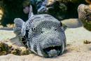 Jätteblåsfisk (Arothron stellatus)