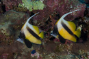 Red sea bannerfish (Heniochus intermedius)
