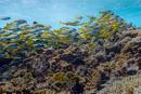 Dory-snapperfiskar (Lutjanus fulviflamma) vid revplatån på Elphinstone