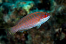 Red Sea flasher wrasse (Paracheilinus octotaenia), sub-adult/female