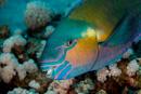 Bicolor parrotfish (Scarus rubroviolaceus)