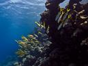 Yellowfin goatfish (Mulloidichtys vanicolensis)