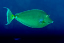 Short-nose unicornfish (Naso unicornis)