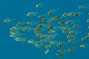 Gul glasfisk (Parapriacanthus ransonneti)