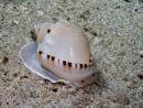Heavy bonnet sea snail (Casmaria ponderosa)
