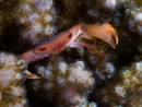 Red coral guard crab (Trapezia cymodoce?)
