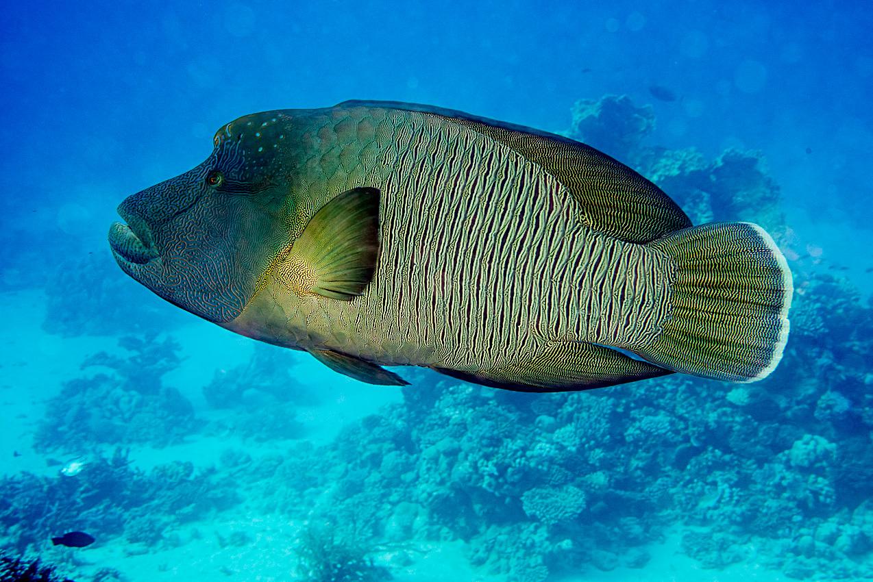 Napoleonfish (Cheilinus undulatus)