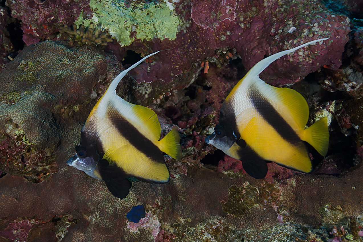 Red sea bannerfish (Heniochus intermedius)