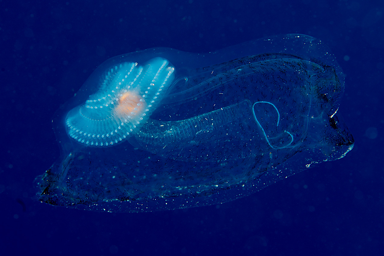 Is this a comb jelly having ingested a salp?