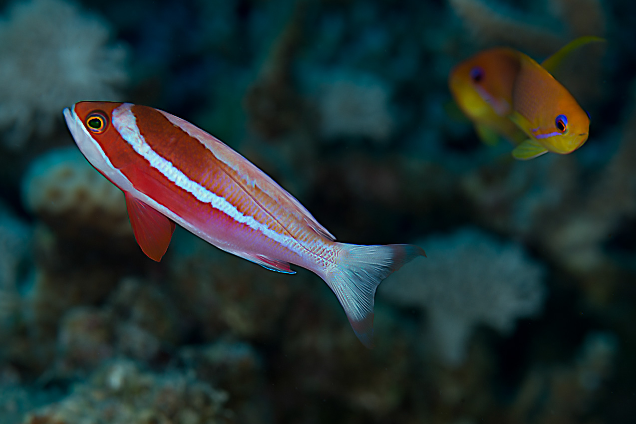 Red Sea fairy basslet (Pseudanthias taeniatus)