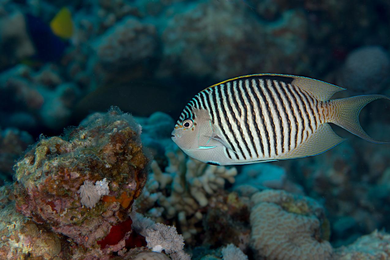Lyretail angelfish (Genicanthus caudovittatus)