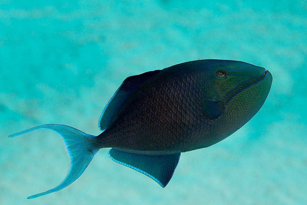 Redtooth triggerfish (Odonus niger)