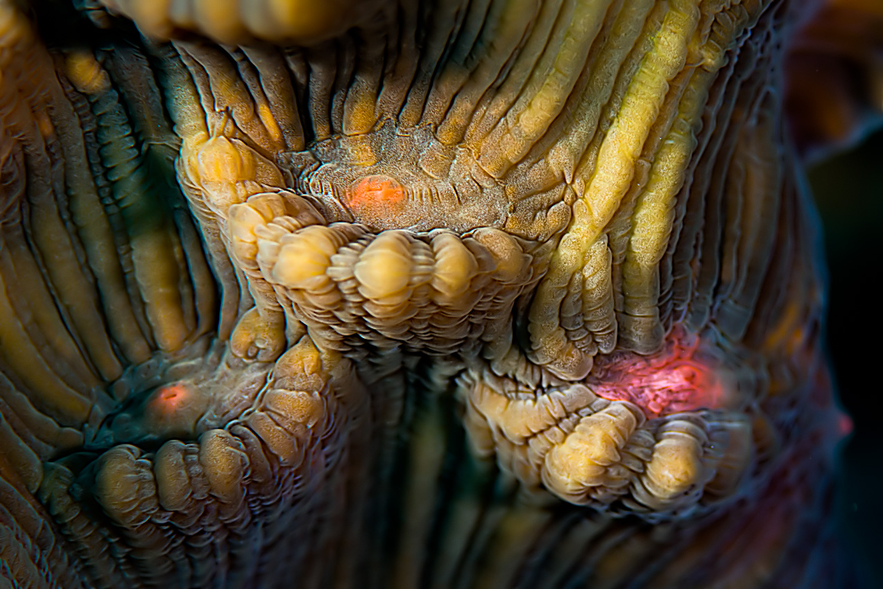 Elephant ear coral (Mycedium elephantotus)