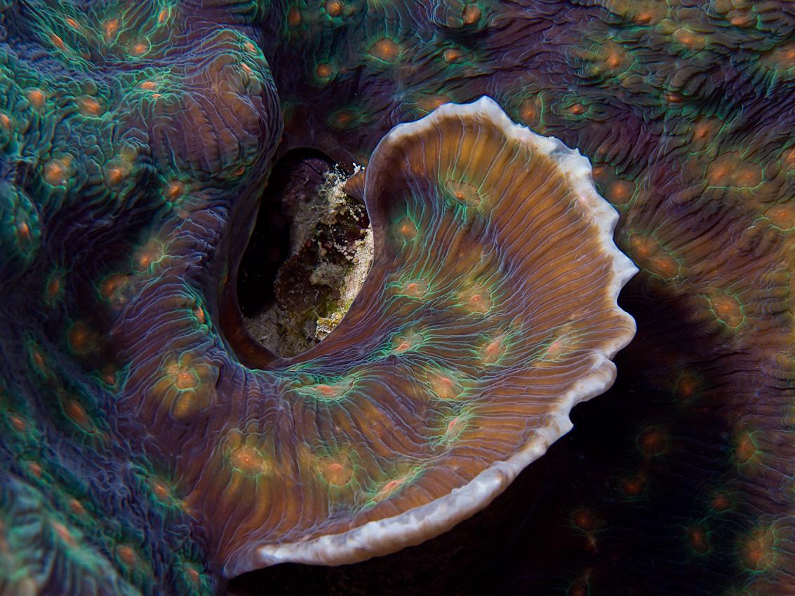 Elephant ear coral (Mycedium elephantotus)
