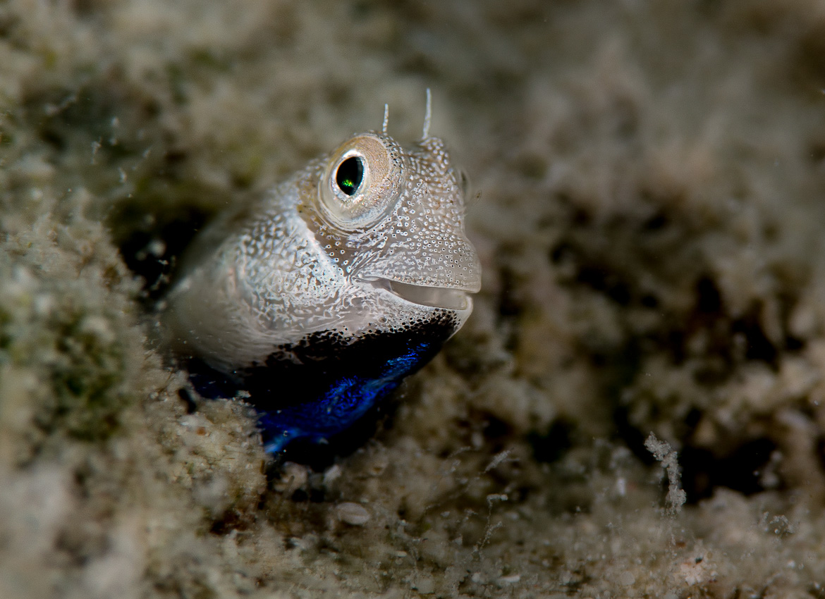 Courting blue-throated male blenny in a hole (ca 4 mm diameter)