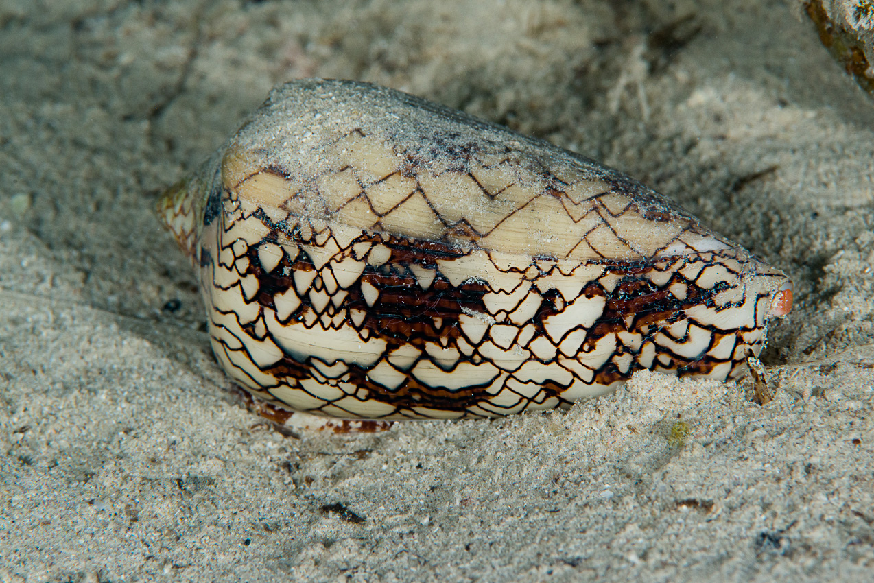 Textile cone shell (Conus textile), very poisonous. Don't touch!