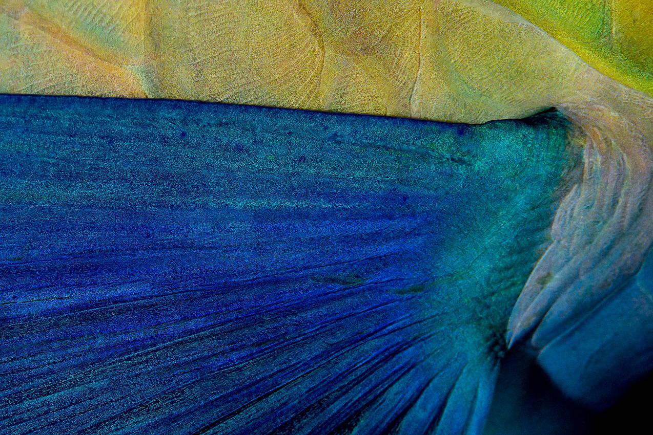 Sleeping parrotfish fin closeup