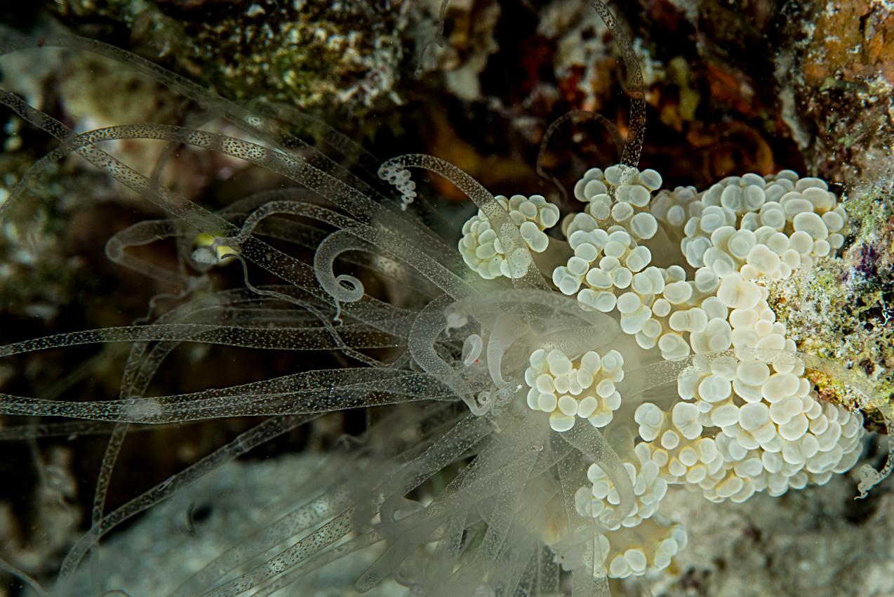 Alicia anemone (Alicia pretiosa?)