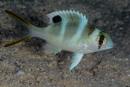Storögd revbleckefisk (Monotaxis grandoculus) juvenil