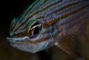 Tiger cardinalfish (Cheilodipterus macrodon)
