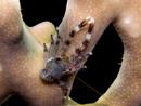 Oidentifierad Trollhummer (Galathea sp)