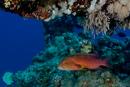 Moon grouper (Variola louti)
