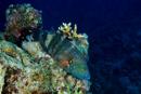 Kvaststjärtad gylta (Cheilinus lunulatus)
