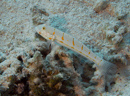 Jungfrusmörbult (Valenciennea puellaris)