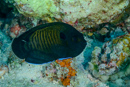 Brown dwarf-angelfish (Centropyge multispinis)