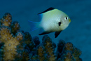 Rödahavsfrökenfisk (Dascyllus marginatus)