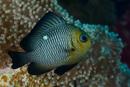 Trefläckig frökenfisk (Dascyllus trimaculatus)