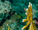 Juvelfrökenfisk (Plectroglyphidodon lacrymatus)