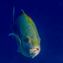Orange-spotted trevally (Carangoides bajad)